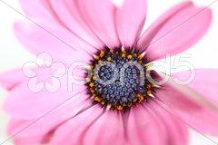 Bornholm - Margerite Blüte von vorne Stock Photos
