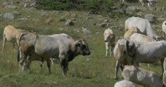 Cows And Cattles At Gias Della Casa, Italy Stock Footage