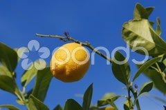 Zitrone gegen Himmel Stock Photos