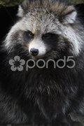 Marderhund Stock Photos