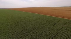 Aerial shot of golden and green field seeded wheat, corn and rye, drone moving Stock Footage