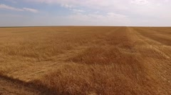 Drone flying low over swinging ears of golden wheat, moving up and showing large Stock Footage