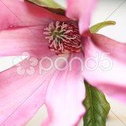 Magnolie - Bluetenmakro Stock Photos