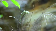 Closeup of a baby green chameleon Stock Footage