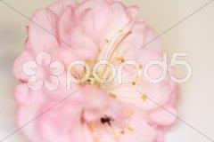Mandelbaum Blütenmakro Stock Photos