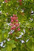 Rote Blüte Kastanie Hintergrund Stock Photos