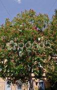 Rote Blüte Kastanie Baumkrone Stadt Stock Photos