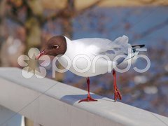 Hooded seagull Stock Photos