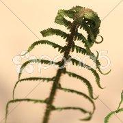 Aufgehend Farn Blätter Stock Photos