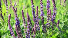 Flowering Salvia officinalis in meadow close-up Stock Footage