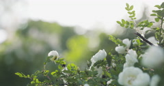 White brier rose flower on bush against sky Stock Footage