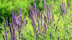 Salvia officinalis in meadow close-up Stock Footage