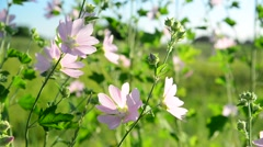 Purple pink meadow mallow flowers Malva close up Stock Footage