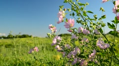 Purple pink meadow mallow flowers Malva Stock Footage
