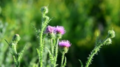 Thistle flower in the meadow at summer Stock Footage