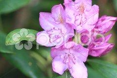 Rhododendron Blüten lila Stock Photos
