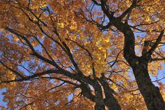 Low Angle View of Maple Tree in Autumn Stock Photos