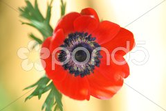 Anemone rot Stock Photos