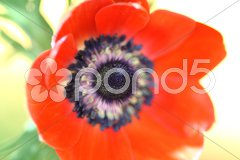 Rote Anemone Stock Photos