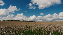 Large field of wheat swaying in the wind, panorama Stock Footage
