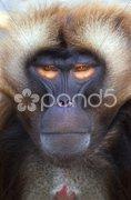 Ape Stock Photos