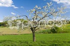 Blühender Kirschbaum im Feld Stock Photos