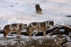 Wölfe im Schnee Stock Photos