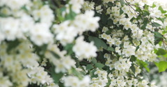 Beautiful jasmine white flowers in summer day pan Stock Footage