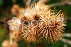 Closeup of spiky dried thistle blossoms with shallow depth Stock Photos