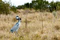Great Blue Heron Bird Photo 2 Stock Photos