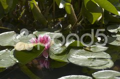 Blühende Seerose (Nymphaea) in der Natur Stock Photos