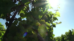 Rustic Old Grapes On The Vine With Lens Flare In The French Loire Valley. Stock Footage