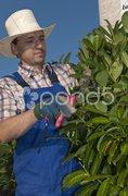 Baumschnitt, Mann bei Gartenarbeit Stock Photos