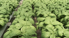 Panning shot of hydroponic basil farm in greenhouse Stock Footage