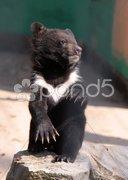 Kragenbär-Nachwuchs Stock Photos