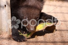 Kragenbär (Jungtier) Stock Photos