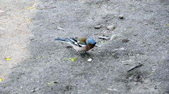 Finch bird picking some crunches on pavement Stock Footage