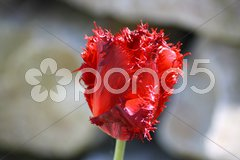 Rote Tulpe Stock Photos