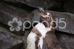 Humboldt-Pinguin Stock Photos