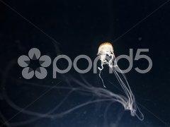 Jellyfish Kuvituskuvat