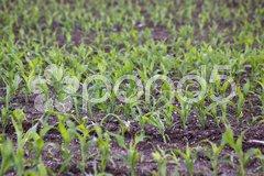 Maisfeld mit jungen Pflanzen Stock Photos