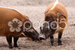 Pinselohrschweine Stock Photos