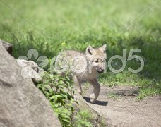 Wolf cub Stock Photos