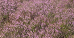 Common Heather, Calluna vulgaris blooming in summer breeze Stock Footage