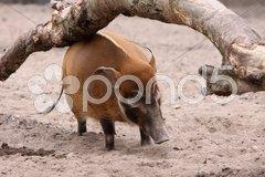 Pinselohrschwein Stock Photos