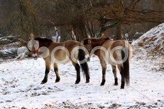 Przewalski-Pferd Stock Photos