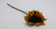 Dying Sunflower Yellow Petals Being Picked Up Isolated on White, 4K Stock Footage