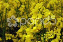 Yellow rape field with shallow depth Stock Photos