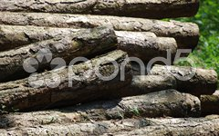 Stacked trunks lying in the forest waiting for the transport Stock Photos