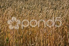 Kornfeld Stock Photos